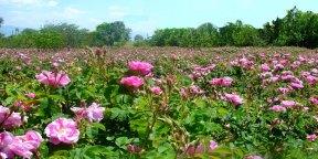 Ispartos rožės