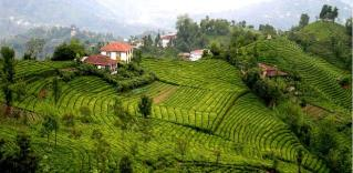 Ryzė arbatos plantacijos