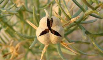 Pegano sėklos